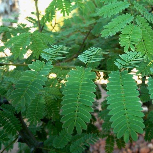 Seedusa LLC. 10 Seeds Acacia galpinii Monkey Thorn Tree price tips cheap