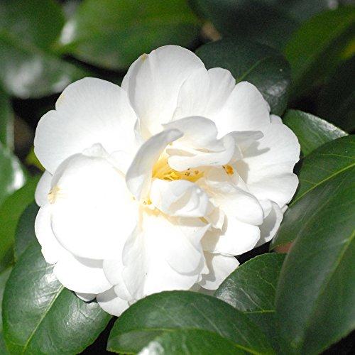 Camellia Tricolour 1 Shrub Buy Online In Uae
