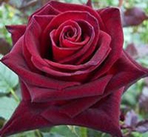 100 Rose Black Baccara (Hybrid Tea Rose),Deep Red ,delicately scented ,DIY Bonsai or Yard cut rose flower plant - Dance Hall Girl Costumes Pattern