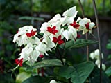 Clerodendrum thomsoniae White Bleeding Heart Pint Plant