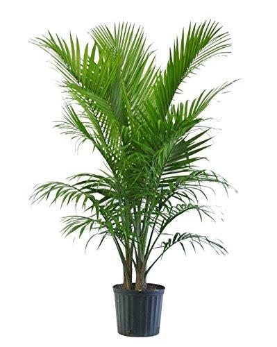 majesty-palm-in-pot