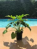"Split-leaf Philodendron - Philodendron Selloum - Philodendron Bipinnatifidum Live Plant 4"" Container Easy to Grow Houseplant"