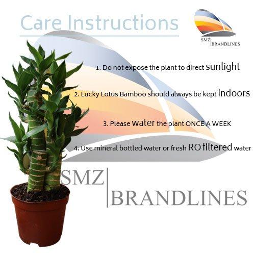 SMZ Brandlines - 3 Layer Lucky Bamboo Lotus Indoor Bonsai Plant...