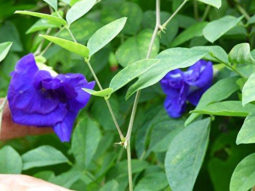 Blue Butterfly Pea Double Flower Vine 10 seeds Unique tea 266 by MW054