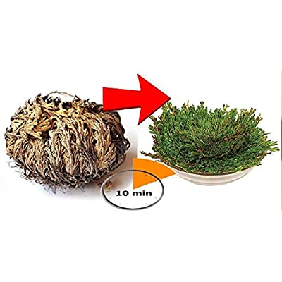 AchmadAnam - Live Plant - Rose of Jericho- Resurrection Plant- Full Plant (not Seeds) Dinosaur Plant Fern Spike Moss Live Resurrection House Plant. E13 : Garden & Outdoor