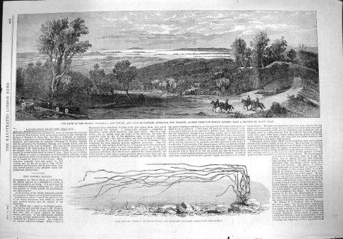 old-print Print 1862 Zostera Marina Waitemata Tamaki Hauraki Zealand 401P141