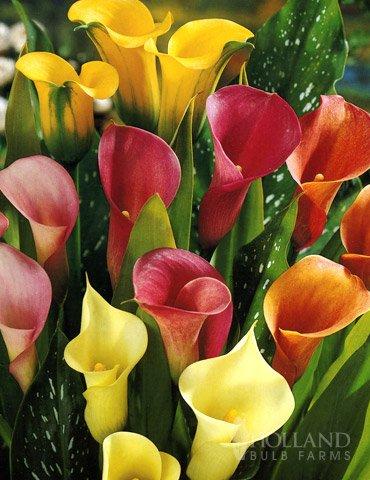 Hybrid Calla Lilies Mixed Value Bag ()