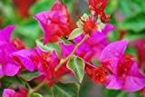 Bougainvillea - 'Temple Fire'