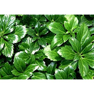 "AchmadAnam - 48 Live Plants Japanese Spurge Pachysandra Hardy Groundcover - 2 1/4"" Pot Garden : Garden & Outdoor"