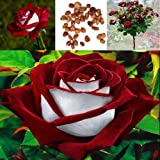 glass baking dish with li - New 100pcs/Bag Red & White Osiria Ruby Rose Flower Seeds Home Garden Plant