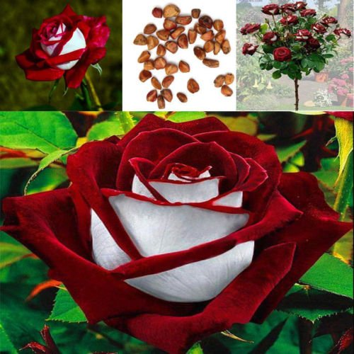 New 100pcs/Bag Red & White Osiria Ruby Rose Flower Seeds Home Garden Plant (Red Rose Collection)