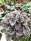 "Peperomia Red Emerald Ripple- air Purifier- caperata- Live Plant- 6"" Pot"