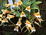 Andy`s Orchids - Masdevallia sotoana - Orchid Plant - Miniature - Indigenous to Ecuador