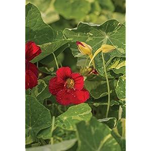 Burpee Troika Red Nasturtium Seeds 50 seeds