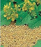 White Mustard Seeds (Sinapis alba) Organic Russian Heirloom Herb Seed