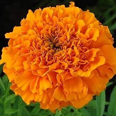 KOUYE GardenSeeds 50 Pcs Yellow Marigold Seeds Flower Seeds Hardy Perennial Flowers for Balcony, Garden : Garden & Outdoor