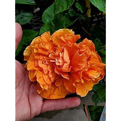 Tropical Jane COWEL Hibiscus Live Plant 7