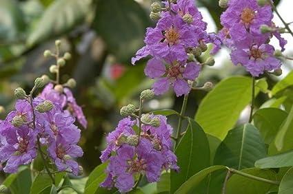 Amazon Com 35 Purple Crepe Myrtle Lagerstroemia Flowering Shrub