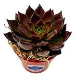 Fat Plants San Diego Live Echeveria Succulent Plant in Pot (4 inch, Black Prince)