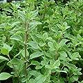 Seeds for Sweet Marjoram - (Origanum majorana)