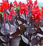 (3) Australia Canna Lily, Near Black Foilage, Red Flowers, Fresh Rhizomes, Roots, Plants, Starts, Great for any Garden