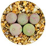 Rare Authentic Conophytum Calculus Seeds with High Germination - Freshly Harvest Premium Quality - Pack of 10 Seeds - Bonus Live Lithops + Germination Kit Included
