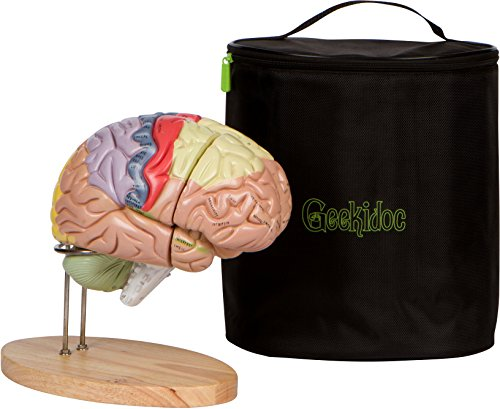 Human Brain Model (numbered) with Carrying Case  2X Life-Size Anatomy Model by Geekidoc
