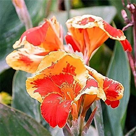 DaDago 10Pcs/Pack Canna Semillas Plantas Interior Al Aire Libre Maceta Flor Semilla Hogar Jardín Yarda Bonsai - Rojo + Amarillo: Amazon.es: Hogar