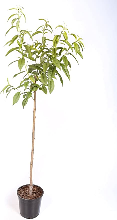 Almendro Maceta 26cm Altura Aprox 1 20m Planta Viva Envíos Sólo A Península Amazon Es Jardín