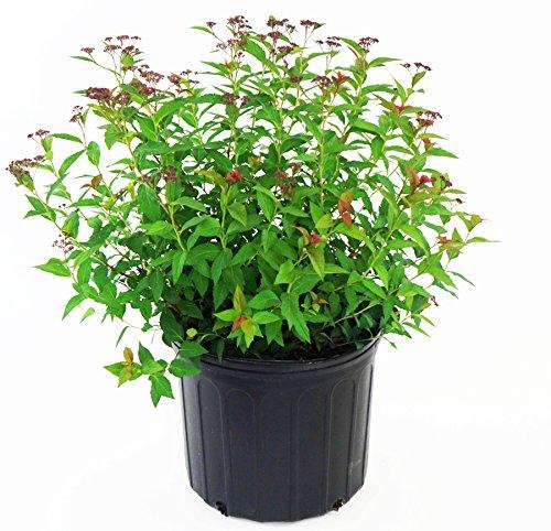 Anthony Waterer Spirea (Anthony Waterer Spirea, pink flowering plant in 3 Gallon pot - Spiraea Bumalda 'Anthony Waterer')