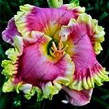 100 pezzi ibridi Daylily Hemerocallis Semi Lily indoor bonsai dei semi semi di fiore perenni per la casa Materiali da giardino