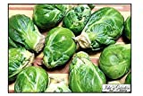 """Long Island Improved"" Brussel Sprout Plant Seeds, 200+ Premium Heirloom Seeds, ON SALE!, (Isla's Garden Seeds), Non Gmo Organic, 99.7% Purity"