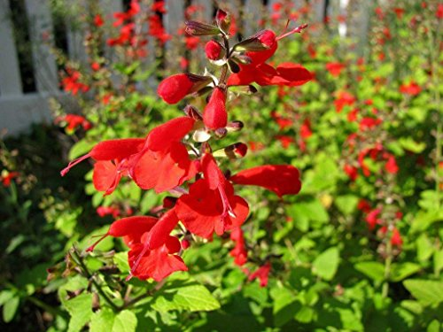 50 salvia Seeds Texas sage Lady in red Flower ()