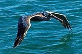 Brown Pelican in Flight BIG Art Photo Hawaii
