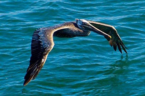 Brown Pelican in Flight HUGE Art Photo Hawaii by