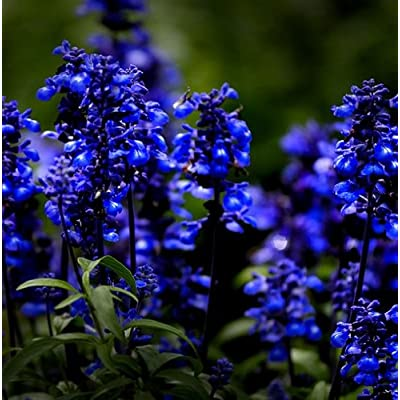 SD1528 Blue Lady Lavender Herb Seeds, Non-Genetically Modified Herb Seeds, New Live Seeds (12 Seeds) : Garden & Outdoor
