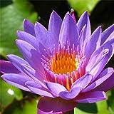 10pcs Purple Daisy Lotus Graines de plantes de jardin d'eau Žtang