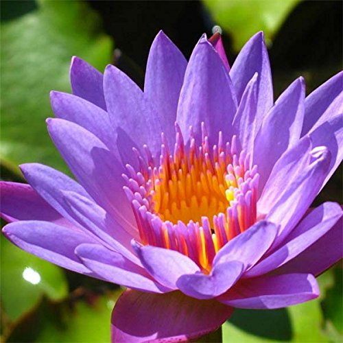 10pcs Purple Daisy Lotus Seeds Garden Water Pond Plants
