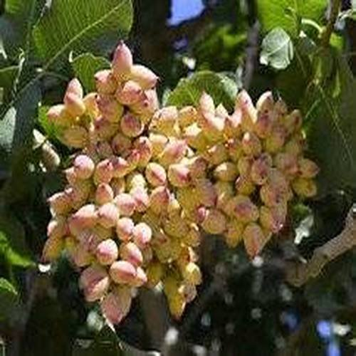 10-seeds-pistachio-nut-tree-pistacia-vera