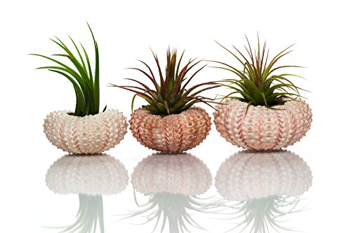 Urchin Air Plant | Pink Sea Urchins and Tillandsia Gift Set | Nautical Crush Trading (3 Pack)