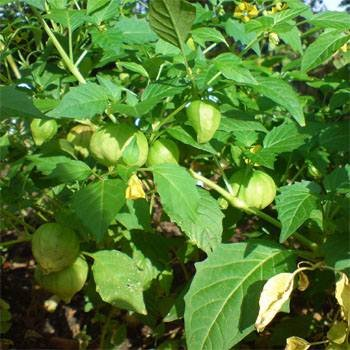 Outsidepride Cape Gooseberry