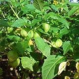 Outsidepride Cape Gooseberry - 1000 Seeds