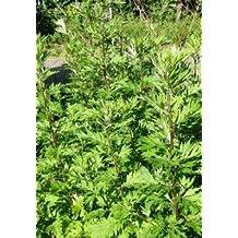 Mugwort Herb Cut&Sifted - Wildcrafted - Artemisia vulgaris (454g = One Pound) Brand: Herbies Herbs