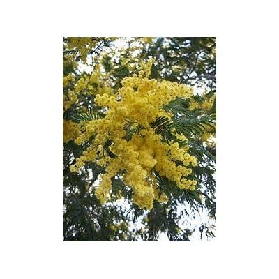 Acacia Dealbata- Silver Wattle 3 seeds : Tree Plants : Garden & Outdoor