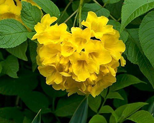 Pinkdose® planta de flores trompeta-enredadera familia flor amarilla 30 semillas semillas de plantas de flores para el hogar semillas de plantas con flores jardín paquete de: Amazon.es: Hogar