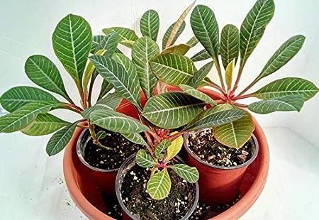 Amazon Com Rare Madagascar Jewel Euphoria Leuconera Perennials
