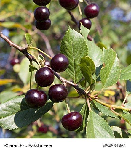 Sauerkirsche Schattenmorelle Containerware Prunus Schattenmorelle