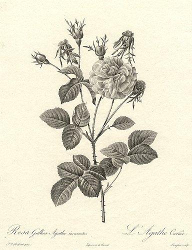French Rose Hybrid