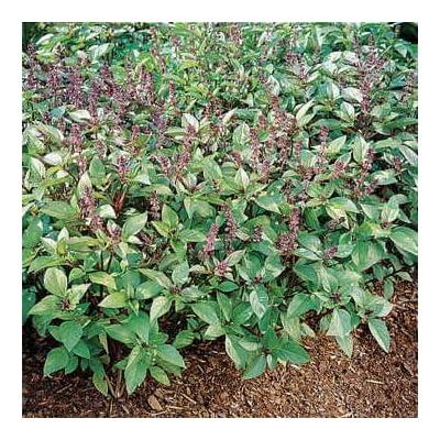 Park Seed Cinnamon Basil Seeds : Garden & Outdoor