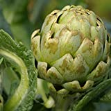David's Garden Seeds Artichoke Green Globe DGS654A (Green) 50 Heirloom Seeds